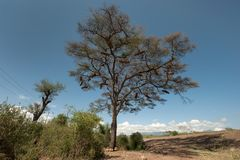 La sabana africana, un solo árbol con una corona grande y en las ramas cuelgan los cilindros cascados para la caza de la abeja de Imagen de archivo