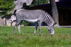 La sabana de África del mamífero del caballo de la cebra rayó el enganche alegre de la melena de los ungulates fotos de archivo