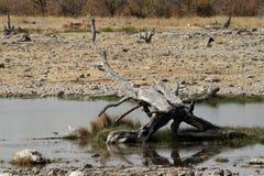 La sabana en el parque nacional de Etosha en Namibia Foto de archivo