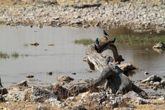 La sabana en el parque nacional de Etosha en Namibia Imágenes de archivo libres de regalías