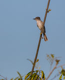 La Sagra's Flycatcher Royalty Free Stock Photo