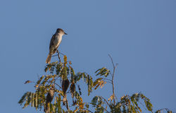 La Sagra's Flycatcher on top of a tree. Royalty Free Stock Photos