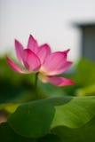 La sainteté du lotus image stock