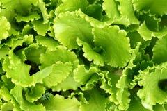 La salade de plantes vertes laisse l'élevage à l'arrière-plan de jardin Photographie stock libre de droits