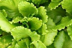 La salade de plantes vertes laisse l'élevage à l'arrière-plan de jardin Image libre de droits
