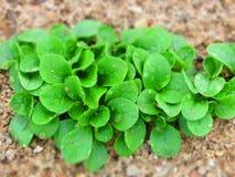 La salade verte fraîche croissante de gisement de salade de Feld part avec des baisses Image libre de droits