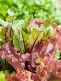 La salade verte fraîche cultive le goring dans le potager Photos libres de droits