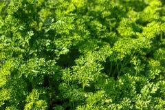 La salade verte fraîche de laitue laisse le plan rapproché Texture Photo libre de droits