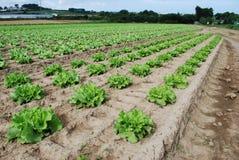 La salade verte se développe dans le domaine photo libre de droits