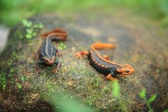 La salamandre de crocodile a été trouvée sur Doi Inthanon, le hig Images stock