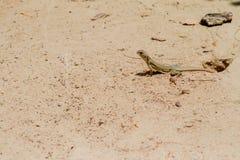 La salamandre se tient grande Photos libres de droits