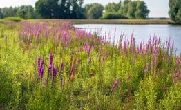 La salicaire commune plante la floraison dans le premier plan d'une couleur Image libre de droits