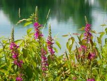 La salicaire sauvage se développe le long de la banque de lac Photo libre de droits