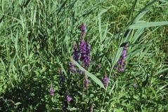 La salicaria comune di salicaria del Lythrum si sviluppa sul prato Fotografia Stock Libera da Diritti