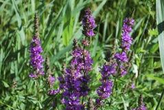 La salicaria comune di salicaria del Lythrum si sviluppa sul prato Fotografia Stock