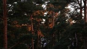 La salida del sol en un bosque del pino el sol ilumina los troncos de árbol Lapso de tiempo almacen de video