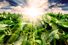 La salida del sol potente detrás del primer de la planta de soja se va imagenes de archivo