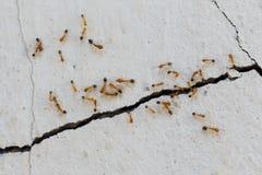 La salita delle formiche mura il dettaglio del primo piano Fotografia Stock Libera da Diritti