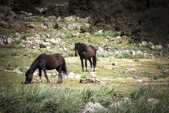 La Sardaigne. Chevaux sauvages Image stock