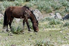 La Sardaigne. Le cheval de Giara Images libres de droits