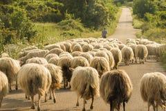 La Sardegna, moltitudine di pecore Fotografia Stock Libera da Diritti