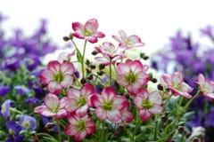 La sassifraga muscosa bianca e di rosa fiorisce con i fiori porpora defocused Immagine Stock