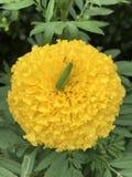 La sauterelle détend sur l'erecta de Tagetes ou la fleur mexicaine de souci de souci ou africain photo libre de droits