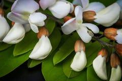 La sauterelle noire fleurit le pseudoacacia de Robinia Photos stock