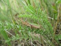 La sauterelle se mélange naturellement dans son environnement avec une paire d'ailes leaflike Image libre de droits