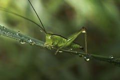 La sauterelle se repose sur une lame d'herbe images libres de droits