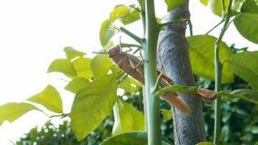 La sauterelle sur l'usine mangeant la feuille, se ferment  Sauterelle détruisant la flore verte, macro clips vidéos