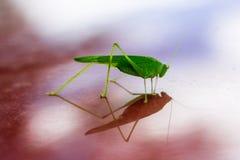 La sauterelle verte se reflète dans la surface brillante rouge Image stock