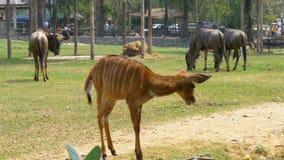 La savane africaine dans le zoo ouvert de Khao Kheow thailand banque de vidéos