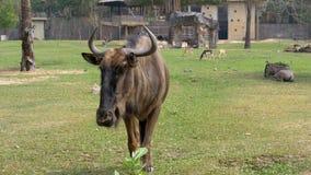 La savane africaine dans le zoo ouvert de Khao Kheow thailand clips vidéos