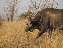 la savane africaine de buffle Photo stock