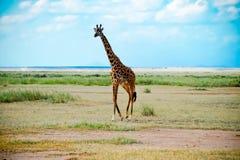La savane africaine de marche de giraffe Photographie stock