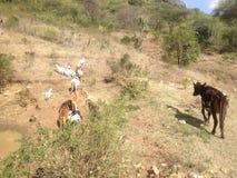 La savane africaine, Kenya, à côté de Mt kilimanjaro Photo stock