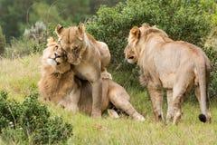 La savane Afrique de lion Image libre de droits