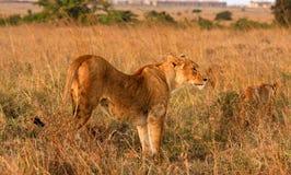 La savane de lecture de lionne au Kenya Photos stock