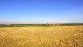 La savane de réserve nationale de Maasai Mara chez l'Afrique clips vidéos