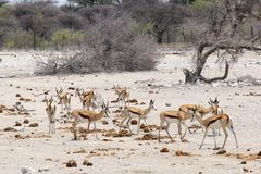 La savane de springboks de troupeau, Etosha, Namibie Image libre de droits