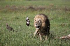La savane mammifère Kenya de l'Afrique de girafe de consommation de lion sauvage Photos libres de droits