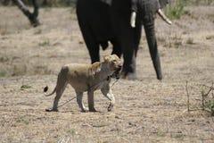 La savane mammifère Kenya de l'Afrique de girafe de consommation de lion sauvage Photo stock