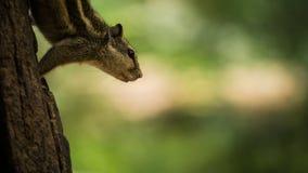 La sbirciata dello scoiattolo Immagine Stock