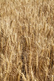 La scène d'une bonne récolte Photo stock