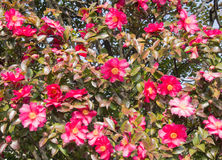La scène des fleurs de sasanqua sont en fleur beaucoup Photographie stock libre de droits