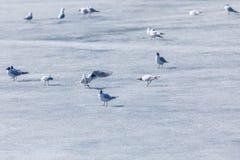 La scène du marché des mouettes pendant la saison d'accouplement sur la glace de ressort de la rivière ou du lac en parc de ville photo stock