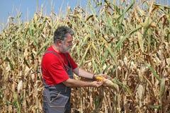 La scena agricola, l'agricoltore o l'agronomo ispezionano il campo di grano Immagini Stock