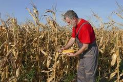 La scena agricola, l'agricoltore o l'agronomo ispezionano il campo di grano Immagini Stock Libere da Diritti