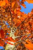 La scena di autunno della quercia con rosso va contro la b Immagini Stock Libere da Diritti